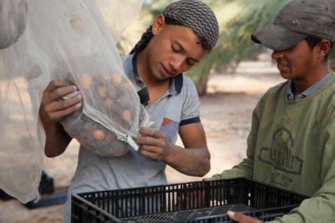 Uno dei produttori locali di datteri a Jericho